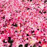udział różowe leluje na kwiatu łóżku obrazy stock