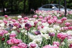 Udział tulipany w miasto kwiatu łóżku zdjęcie stock
