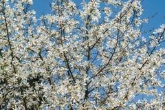 Udział wspaniała biała magnolia kwitnie w niebieskim niebie Jak kierdel biali motyle! obrazy royalty free
