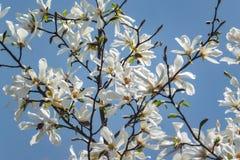Udział wspaniała biała magnolia kwitnie w niebieskim niebie Jak kierdel biali motyle! zdjęcia stock
