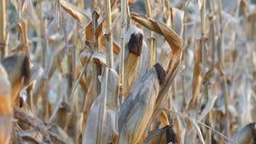 Udział wysuszona kukurudza na polu Żółty dojrzały kukurydzany dorośnięcie na badylu w na wolnym powietrzu zakończeniu w górę wido zbiory wideo