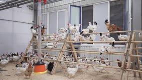 Udziały biały kurczaka obsiadanie na henge i bieg wokoło stajnia pokoju zbiory