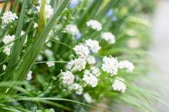 Udziały biali mali kwiaty fotografia stock
