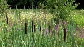 Udziały brązu i zieleni sitowia falowanie na lesie zbiory