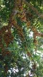 Udziały colourful figa w drzewie fotografia stock