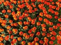 Udziały czerwoni tulipanowi kwiaty Imię: Oksfordzki elita obrazy royalty free