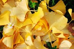 Udziały ginkgo opuszczają na ziemi w jesieni Zdjęcia Stock