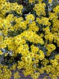 Udziały jaskrawy żółty Brachyglottis światła słonecznego krzak Zdjęcia Royalty Free
