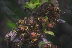 Udziały Miodowe pszczoły na świętej basil roślinie fotografia royalty free