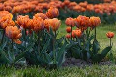 Udziały pomarańczowi tulipany Zdjęcie Royalty Free