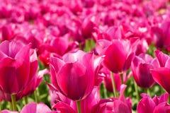 Udziały różowią tulipany zdjęcia royalty free