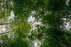 Udział bambus w lesie Obrazy Stock
