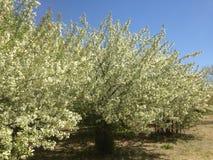 Udziały biali kwiaty w serval drzewach Fotografia Royalty Free