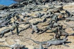 Udziały Morskie iguany Zdjęcia Stock