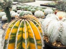 Uebelmannia pectinifera forma variegata Royalty Free Stock Photos