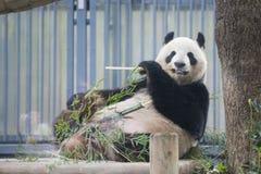 Ueno, Japan - February 24, 2016 : Giant panda bear eating fresh. Bamboo at Ueno zoo, landscape royalty free stock photography