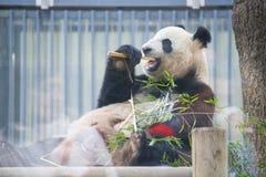 Ueno Japonia, Luty, - 24, 2016: Gigantycznej pandy niedźwiedzia jeść świeży Zdjęcia Royalty Free