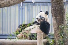 Ueno Japonia, Luty, - 24, 2016: Gigantycznej pandy niedźwiedzia jeść świeży Obrazy Stock