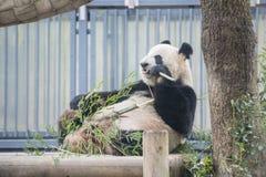 Ueno Japonia, Luty, - 24, 2016: Gigantycznej pandy niedźwiedzia jeść świeży Zdjęcie Stock