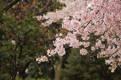 Ueno Park Sakura royalty free stock images