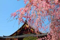 Ueno Park, Tokyo. Ueno Park spring time. Cherry blossoms in Tokyo, Japan. Pink cherry blossoms. Weeping cherry - shidarezakura Stock Image
