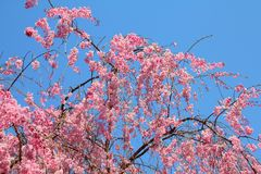 Weeping cherry blossoms. Ueno Park spring time. Cherry blossoms in Tokyo, Japan. Pink cherry blossoms. Weeping cherry - shidarezakura stock photography