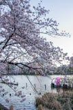 Ueno Sakura Matsuri Cherry Blossom Festival en Ueno ParkUeno Koen, Taito, Tokio, Japón en abril 7,2017: Bicis del agua y tre de l Fotos de archivo