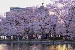 Ueno Sakura Matsuri Cherry Blossom Festival en Ueno ParkUeno Koen, Taito, Tokio, Japón en abril 7,2017: Cerezos a lo largo de Shi Imagen de archivo