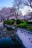 Ueno Sakura Matsuri Cherry Blossom Festival en Ueno ParkUeno Koen, Taito, Tokio, Japón en abril 7,2017: Cerezos a lo largo de Shi Imagen de archivo libre de regalías