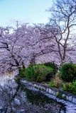 Ueno Sakura Matsuri Cherry Blossom Festival en Ueno ParkUeno Koen, Taito, Tokio, Japón en abril 7,2017: Cerezos a lo largo de Shi Fotos de archivo