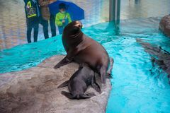 Ueno zoo Tokyo Japan.Seal in zoo. Seal in zoo. Marine animals with their children stock photos
