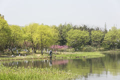 Uferpfirsichblüte und grüner Baum Stockbild