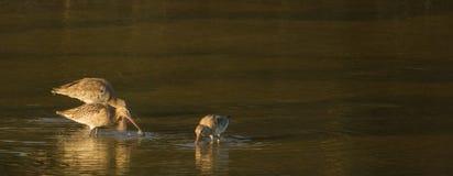 Uferschnepfen im Abendlicht Stockbild