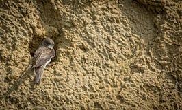Uferschwalbe an der Nisthöhle Stockbilder
