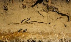Uferschwalben im Ribble stockbild