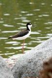 Ufervogel auf Felsen durch See Lizenzfreies Stockfoto