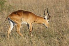 Uganda Kob in Africa. A Uganda Kob walking through grassy ambiance in Uganda (Africa Royalty Free Stock Image