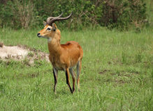Uganda Kob in Africa. A Uganda Kob in the savannah in Uganda (Africa Stock Photos