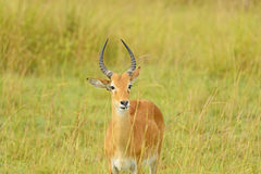 Uganda Kob in the Savannah Stock Photos