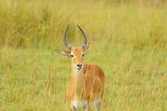 Uganda Kob in the Savannah. Of Murchison Falls National Park Stock Photos