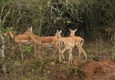 Uganda Kobs in Africa Stock Image