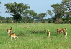 Uganda Kobs in african Savannah Stock Image