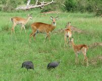 Uganda Kobs in grassy vegetation Stock Photography