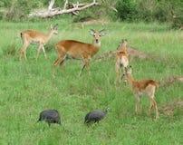 Uganda Kobs w trawiastej roślinności Fotografia Stock