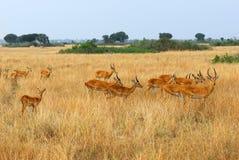 Uganda race kob herd. Antelopes uganda race kob in the savannah, Queen Elizabeth national park, Uganda Royalty Free Stock Photography