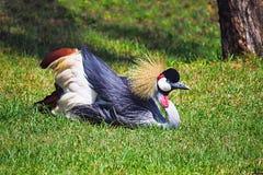 Uganda żuraw, Kenja, Afryka Zdjęcie Royalty Free