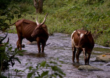 Ugandan Ankole Cows. Two Ankole Cows in a stream near the village of Buhoma, (Bwindi Impenetrable Forest) Uganda royalty free stock images