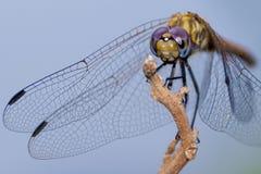 Ugandan Dragon Fly, Power Of Nature Stock Image