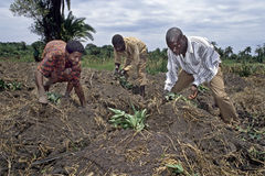 Ugandan farm laborers at work on farmland. Uganda, Luweero district, village Bombo: this men are in the countryside planting seedlings of sweet potato. The Stock Photos