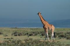 Ugandan giraffe ( Giraffa camelopardalis rothschildi ) Royalty Free Stock Photos